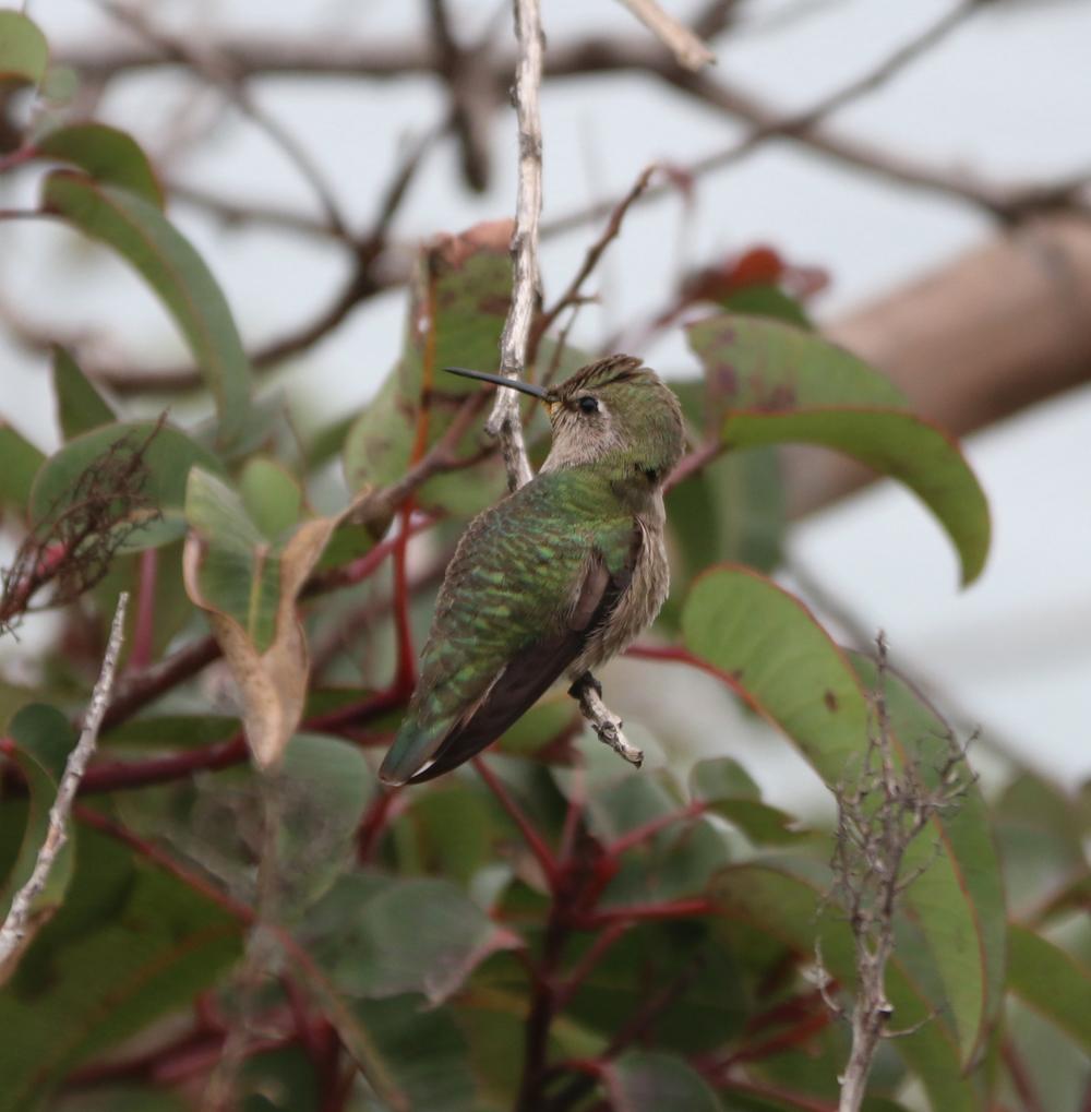 kolibri Malibu USA