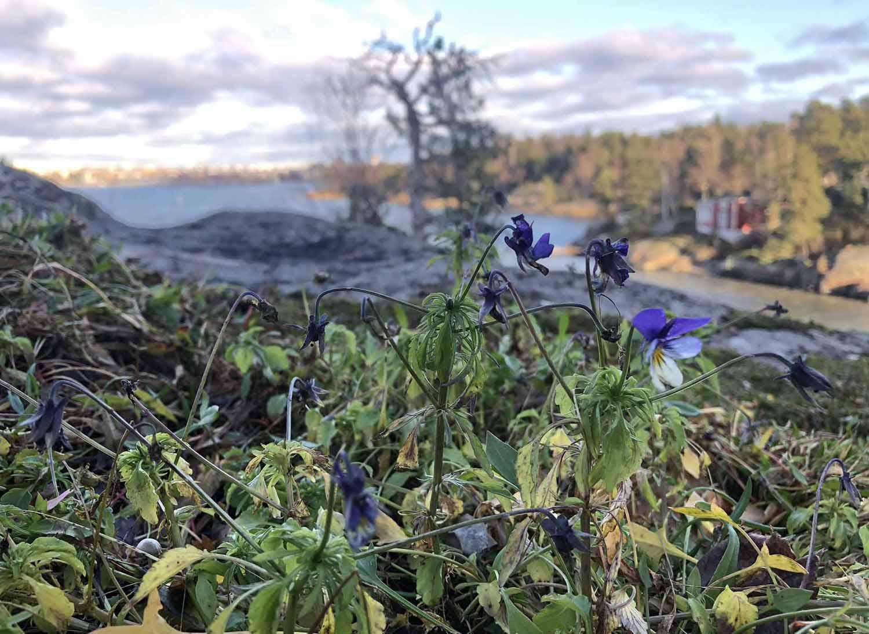Metsäorvokki jaksaa kukkia vielä marraskuussa