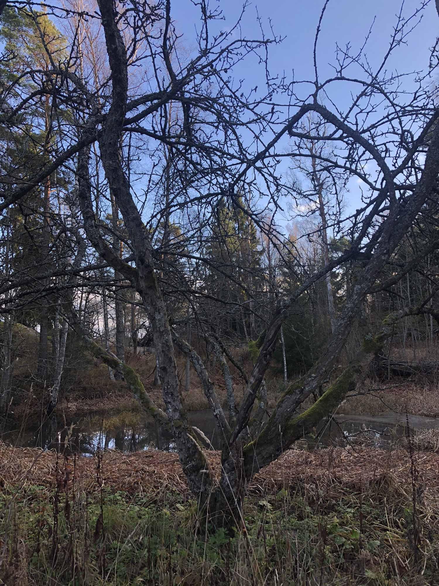 Yksinäinen omenapuuvanhus
