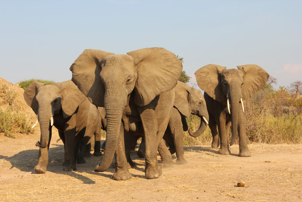 Afrikannorsu elefantti Airimpact