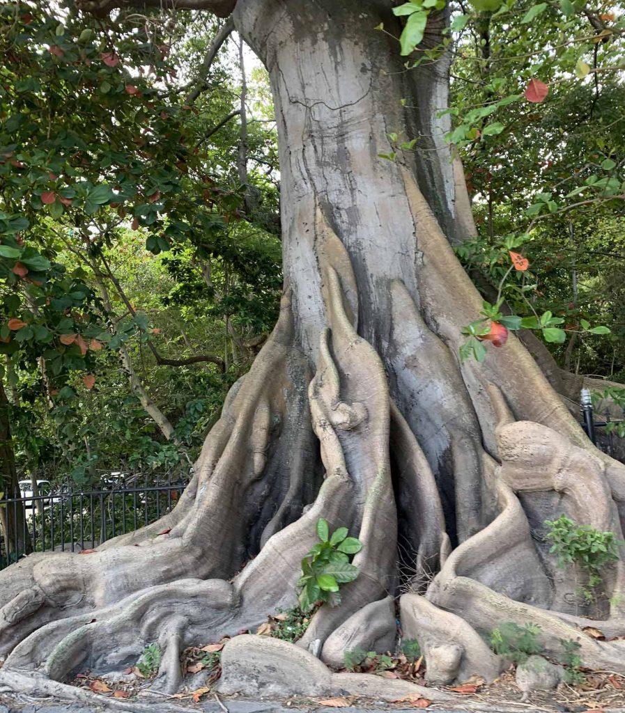 Valtava puu Jamaicalla