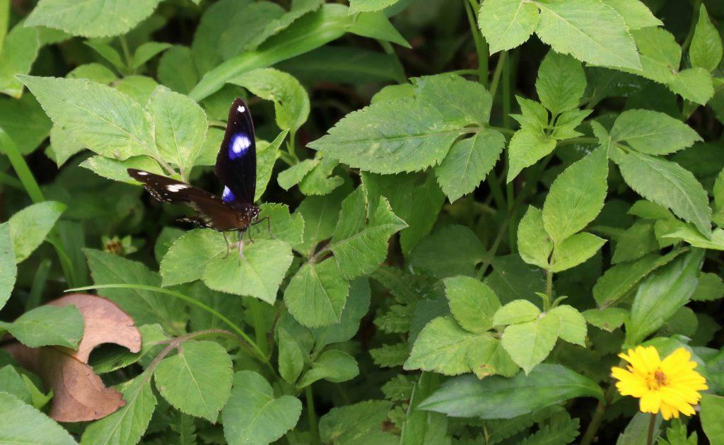 Perhonen Victoria Peak Gardenissa