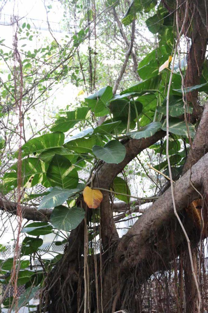 viherkasveja Hualienissa