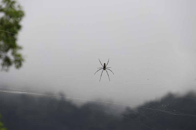 Myrkkyhämähäkki