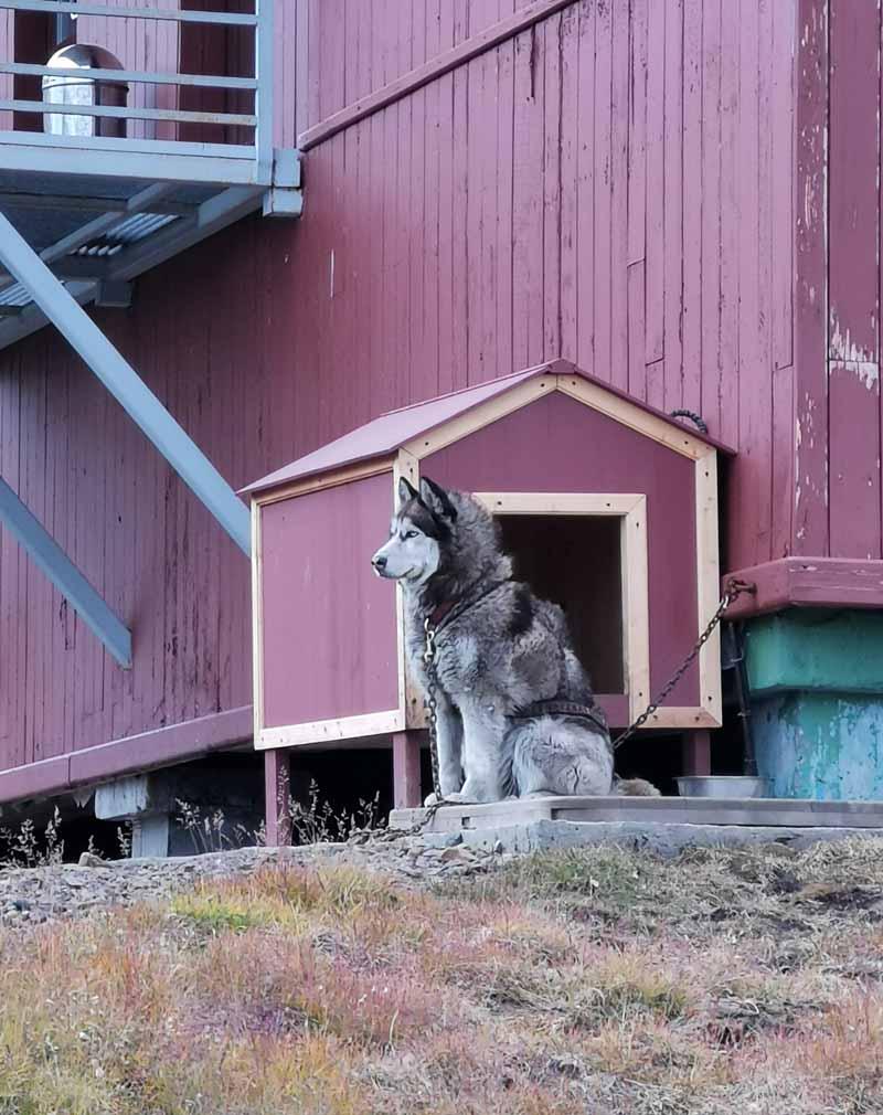 Koira Barentsburg