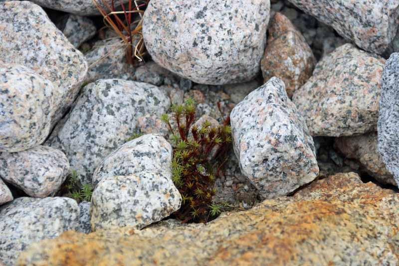 kasvi Huippuvuoret