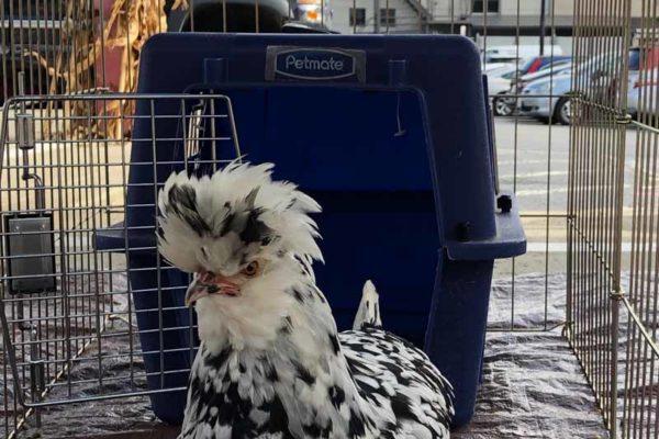 kana chicken