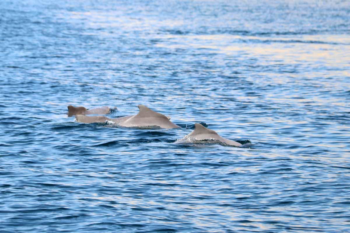 delfiinejä Oman dolphins