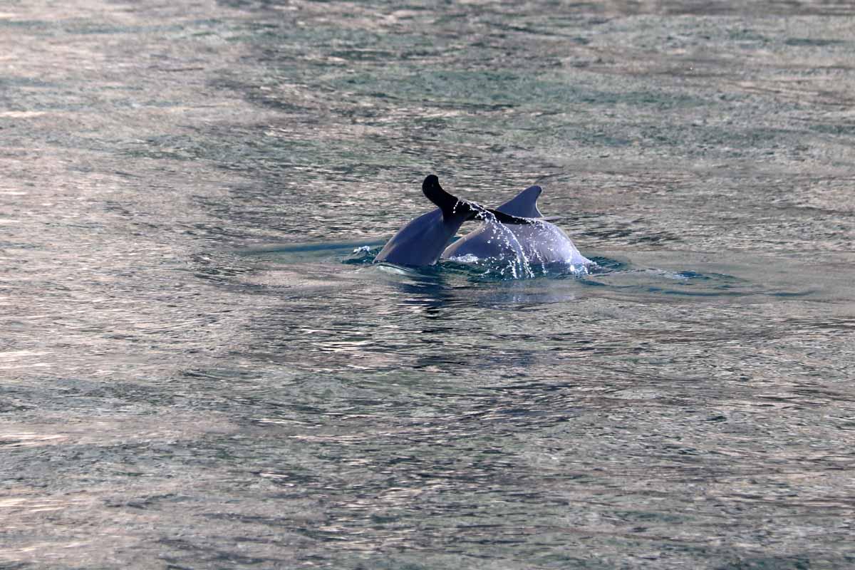 pyrstö delfiini Oman dolphin tail