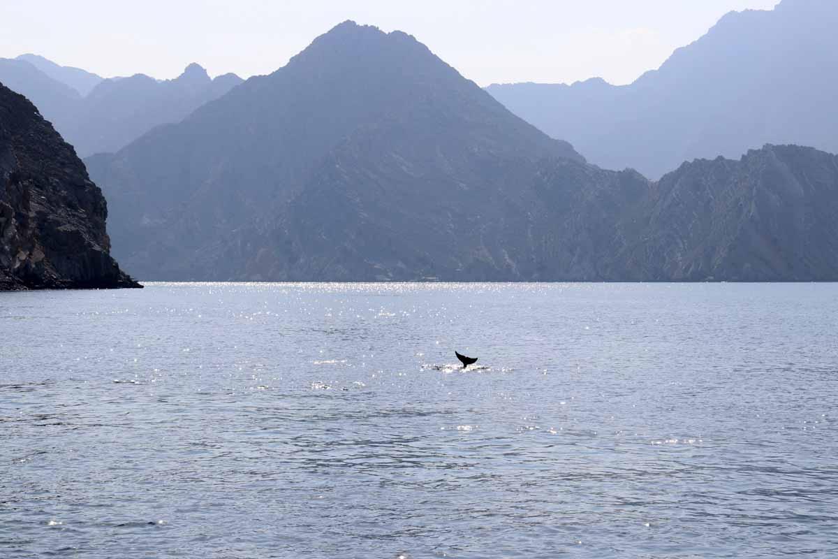 delfiini pyrstö Khasab Bay Oman dolphin tail