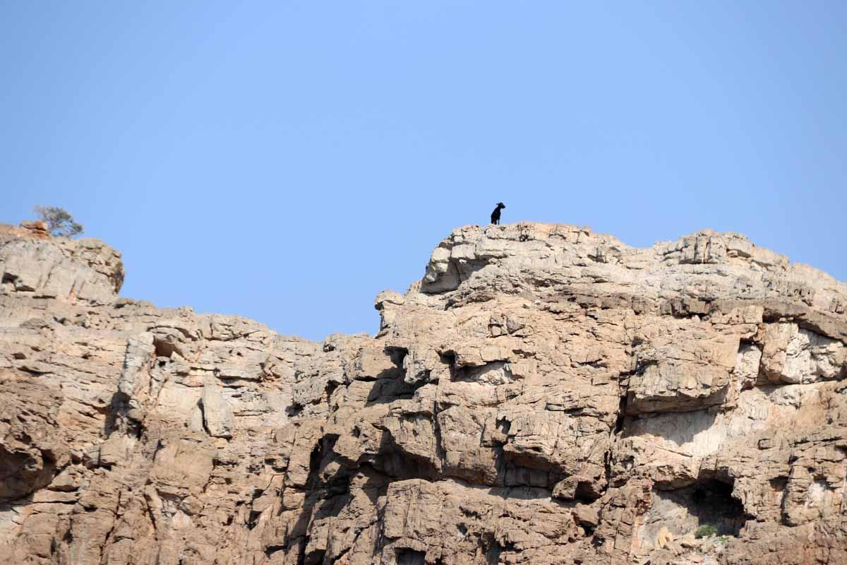vuohi Khasab Bay Oman goat climbing