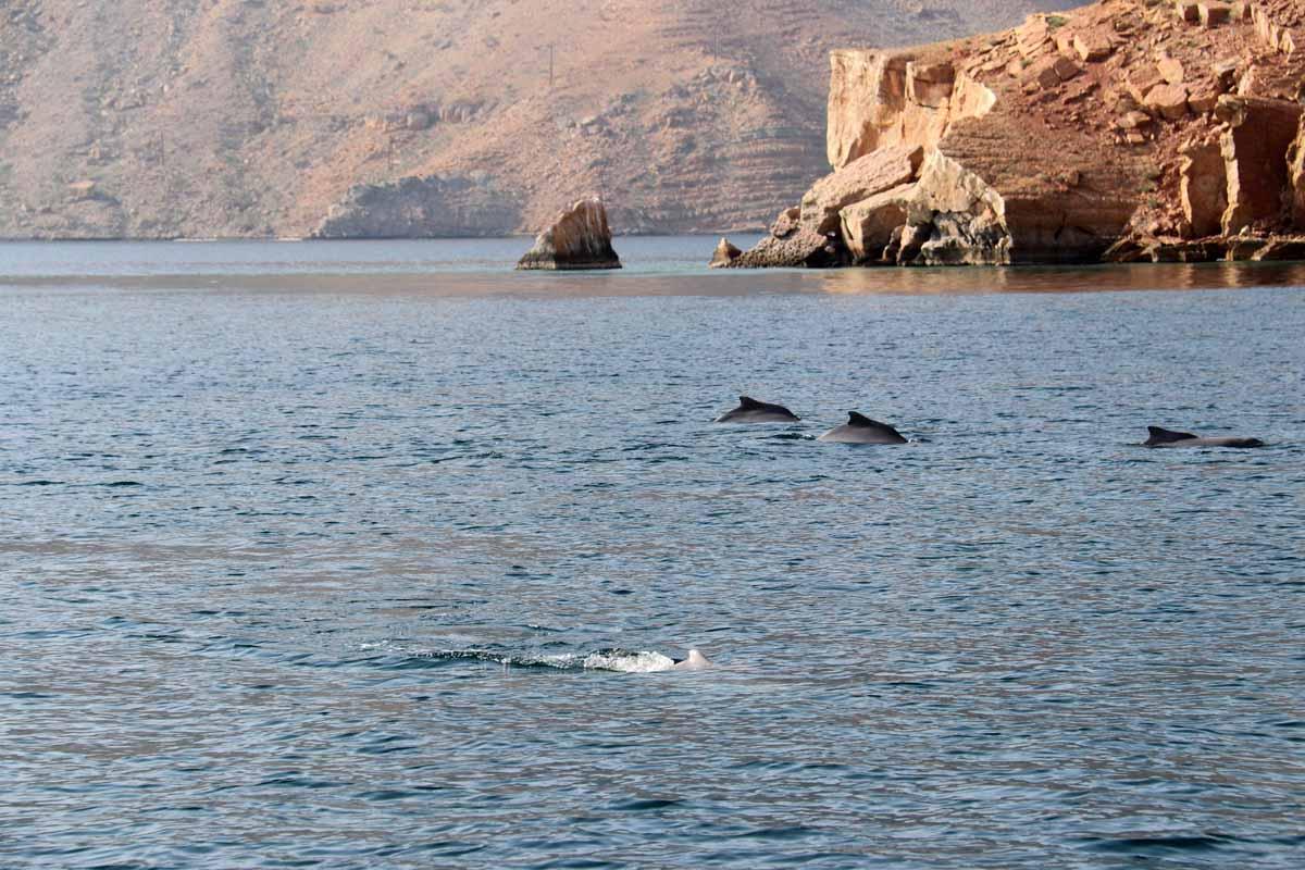 delfiini Khasab Bay Oman dolphins