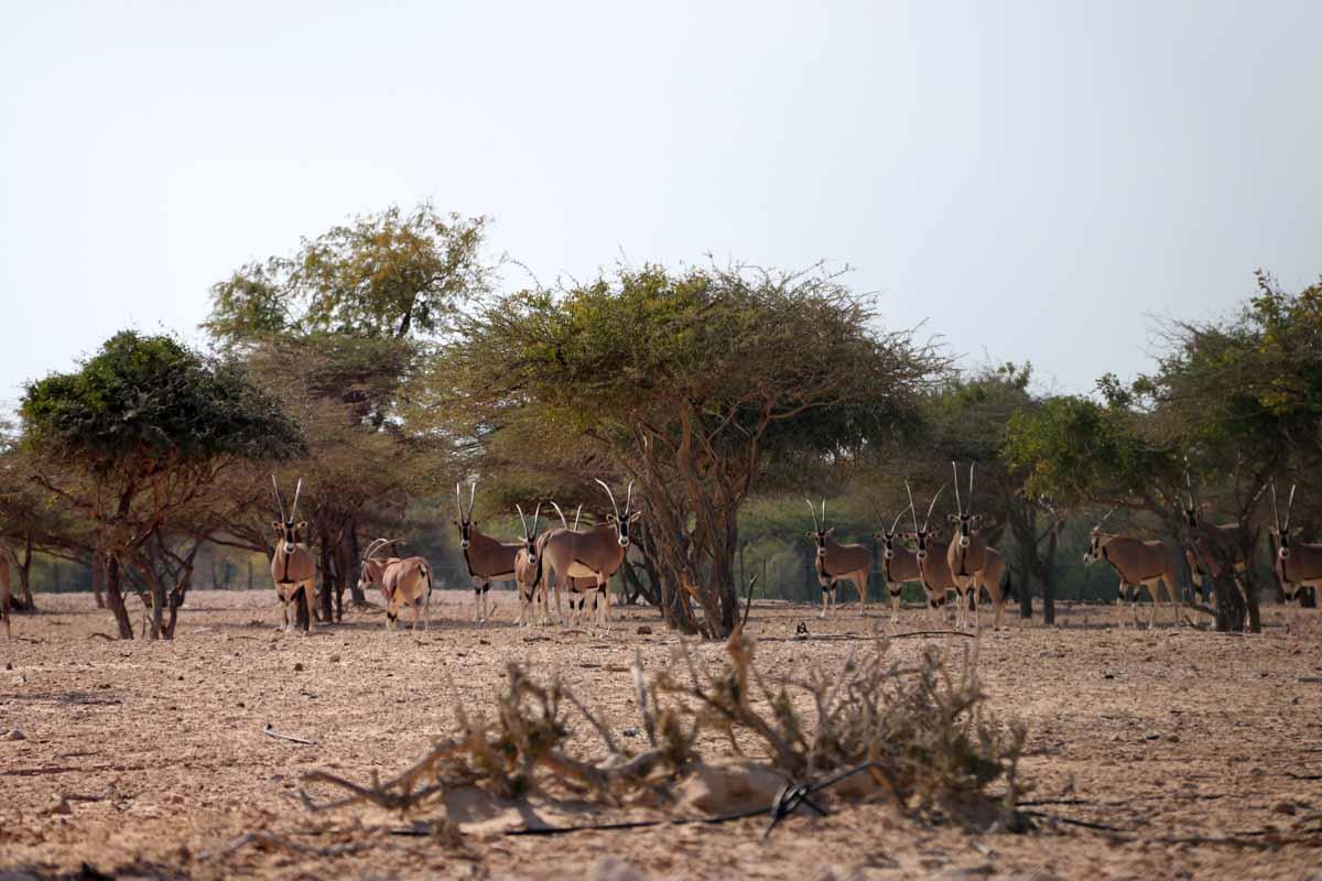 oryx antilooppi antilope Sir Bani Yas