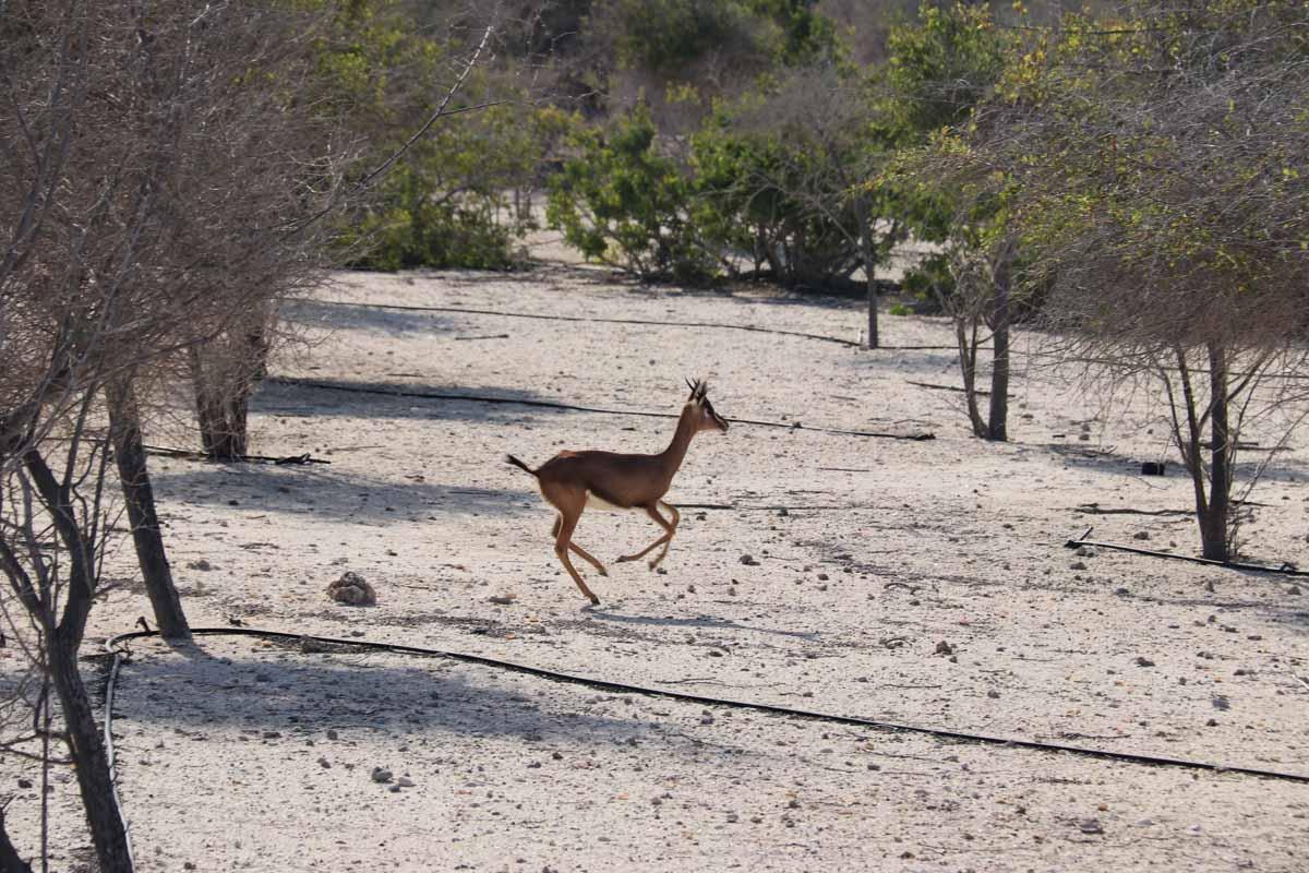 gaselli Sir Bani Yas arabian sand gazelle