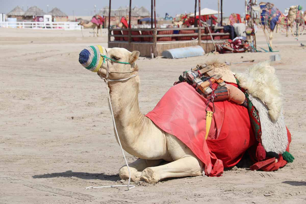 kameli Qatar camel