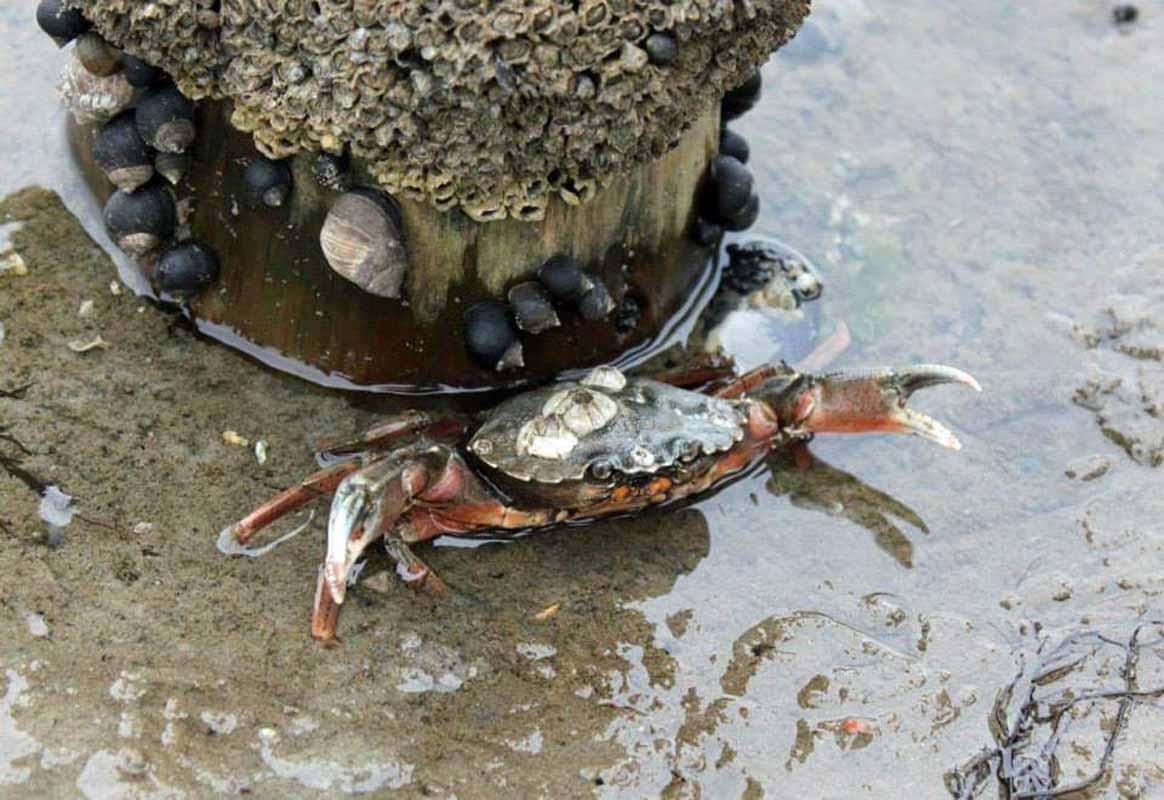 taskurapu crab Mandø Tanska Denmark wildlife