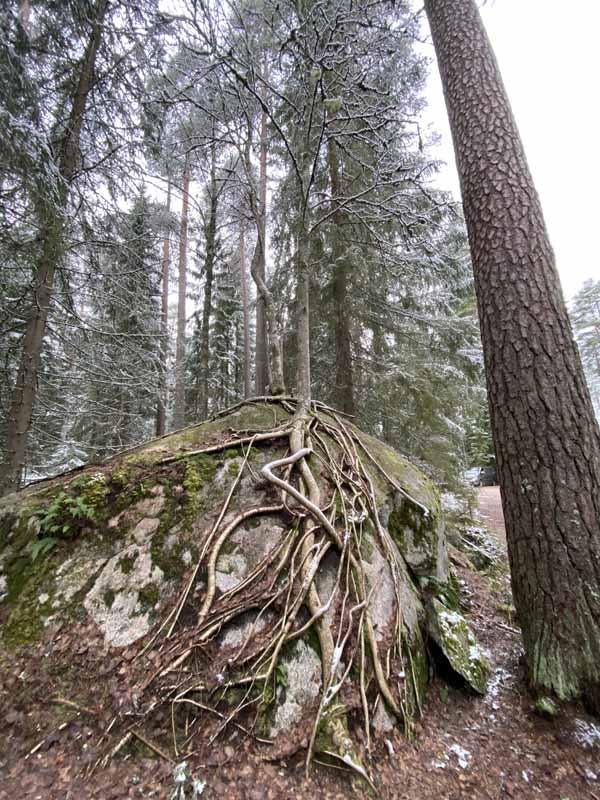 pihlaja juuret kallio roots tree cliff