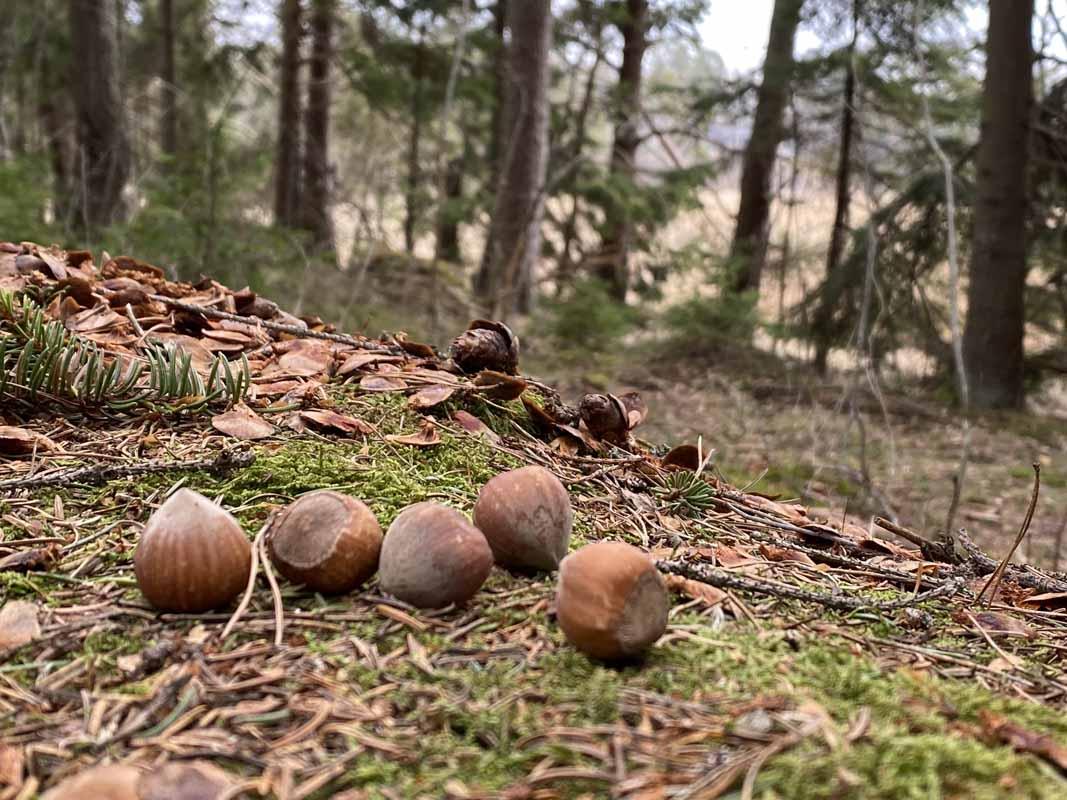 Oravan jättämiä pähkinöitä kivellä