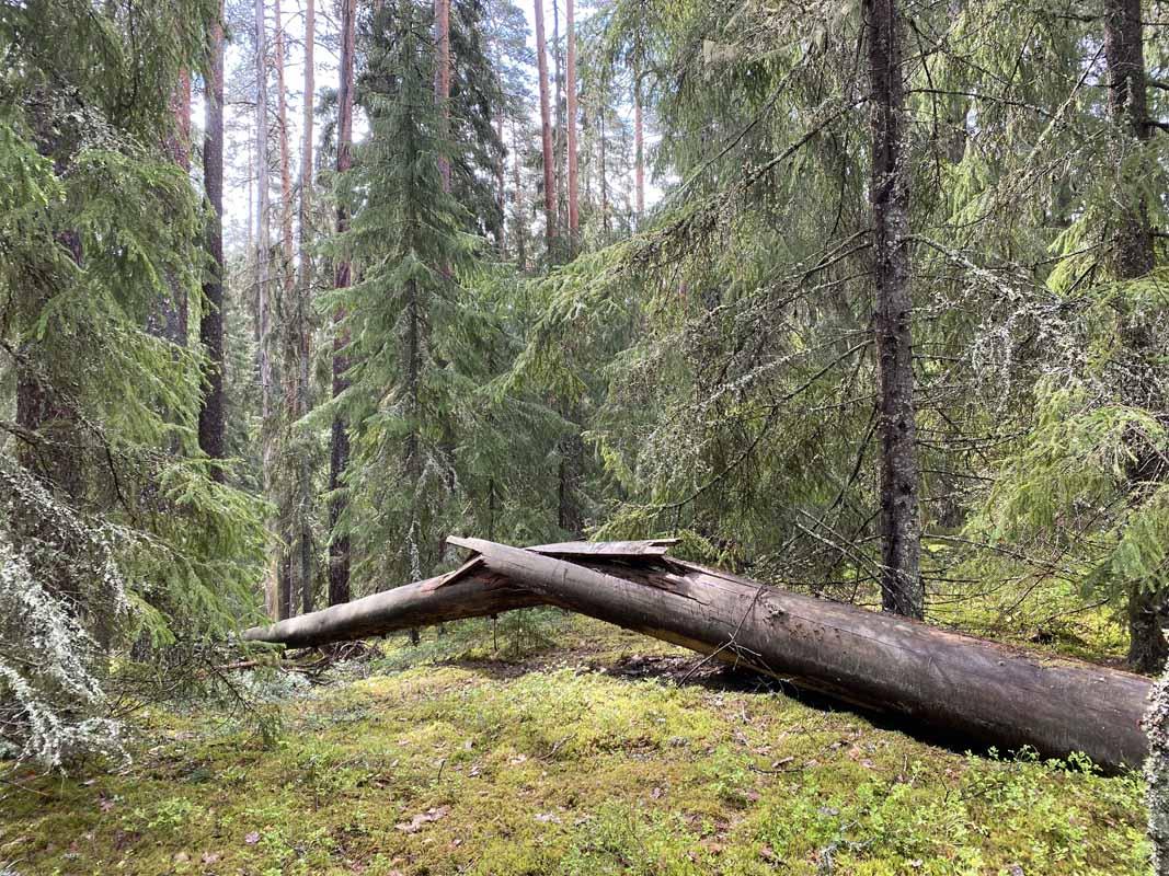 Kaatunut puu Kettumäen metsässä