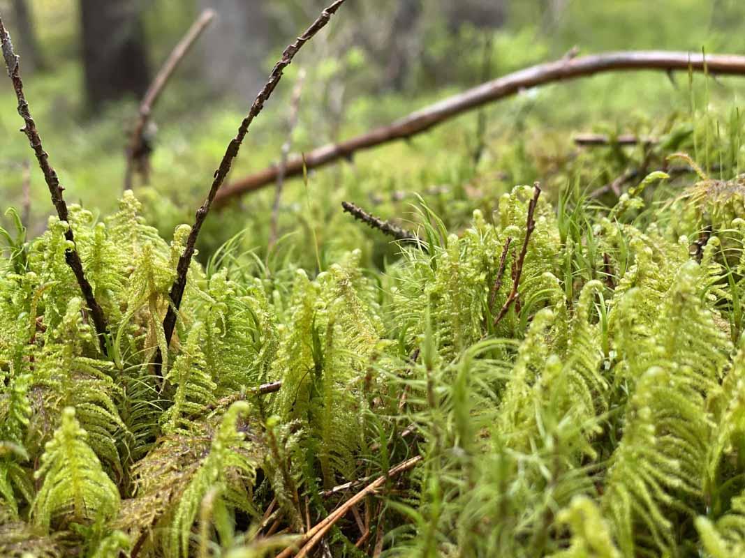 Sammalta Kettumäen metsässä