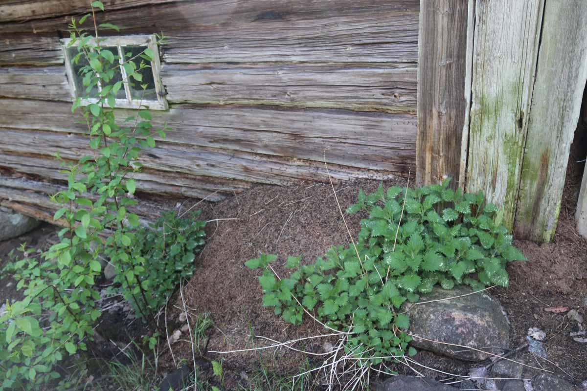Muurahaisten valtaama Pitkäjärven talo