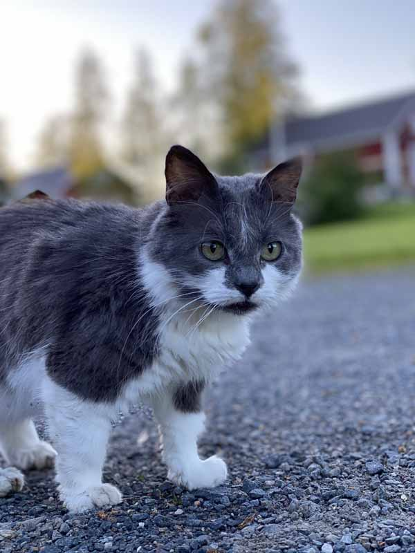 Paijan Maatilamajoituksen kissa